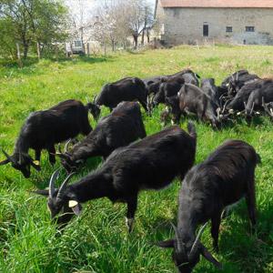 Une Chèvre sur un mûr